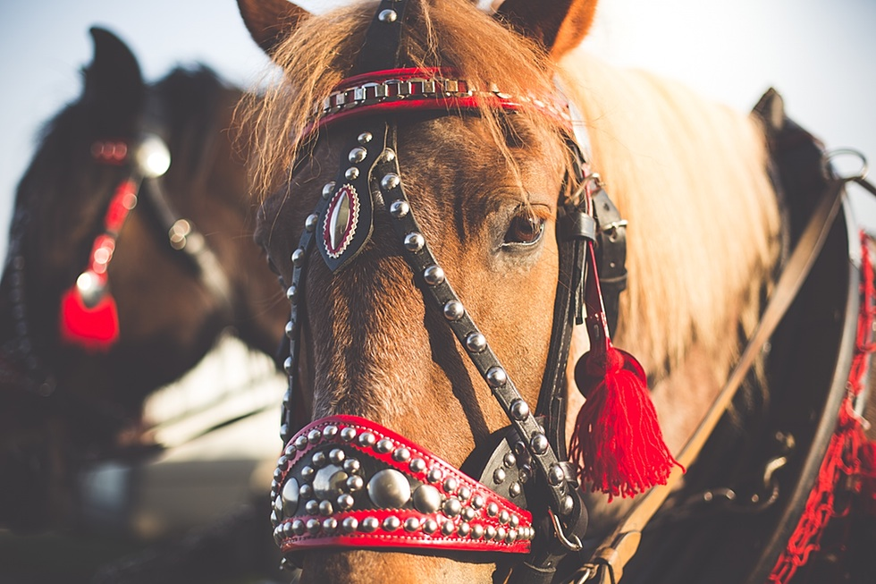 Portrait of a Horse in Harness from Horse-Drawn Carriage